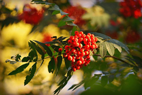 фото ягод рябины красной