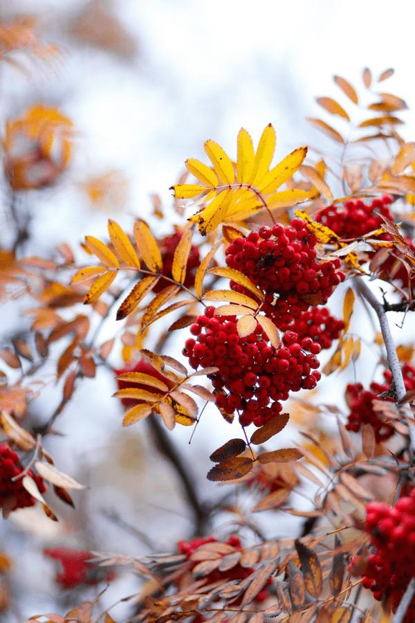 фото ягод рябины осенью