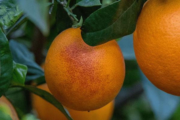 Кровавый апельсин Сангвинелло