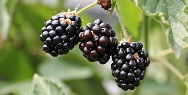 фото трех ягод из ежевики