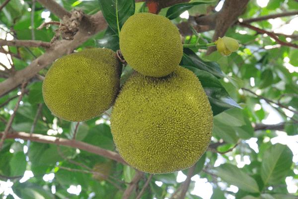 фото плодов хлебного дерево