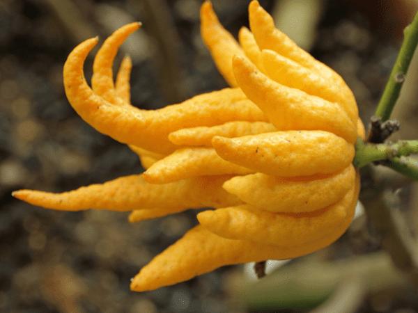 фото плода рука Будды
