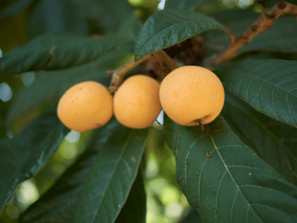 фото плодов и листьев мушмулы