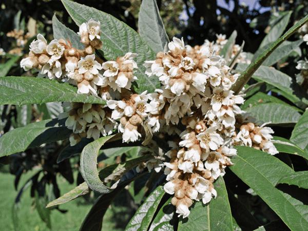 фото цветков мушмулы