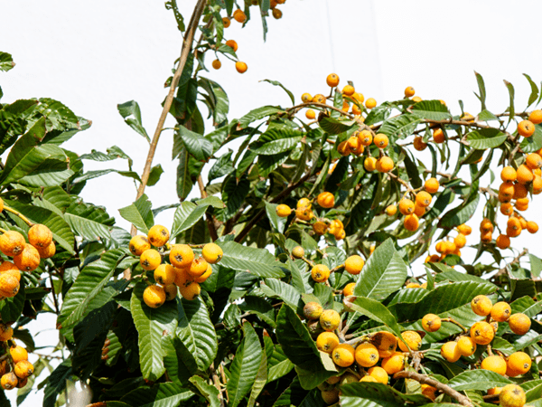 фото дерева мушмулы с плодами