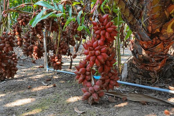 фото плодов салака на дереве