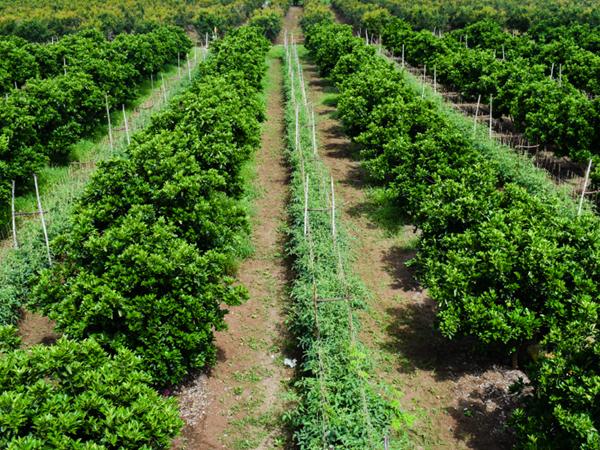 фото сада лиметты и томатов