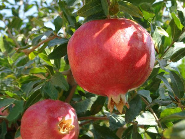 фото плодов граната на дереве