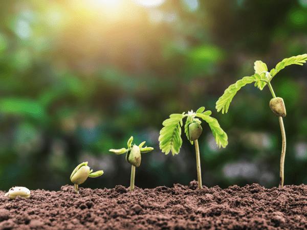 фото ростков тамаринда