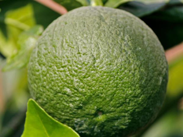 фото плода лиметты