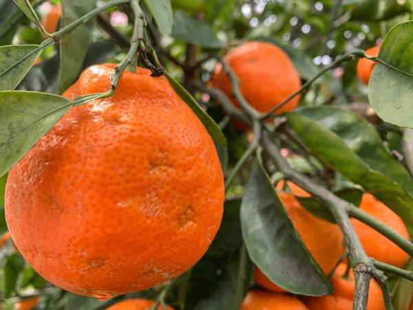 плоды танжело на дереве