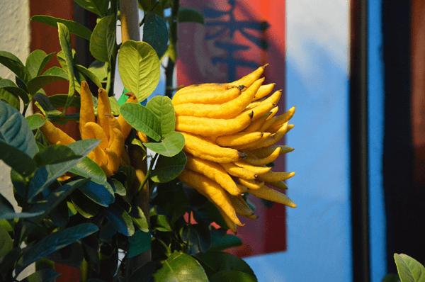 фото плода  пальчатого цитрона
