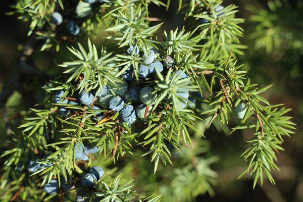 фото спелых плодов можжевельника