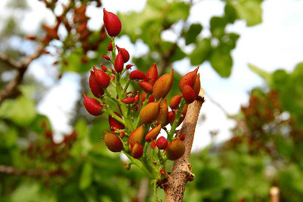 фото красных плодов  фисташки