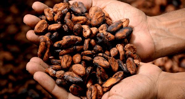 фото какао бобов в руках