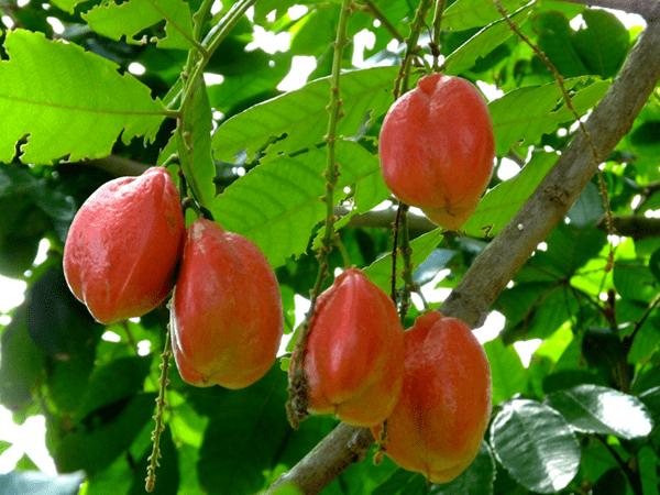 фото зеленых плодов аки на дереве