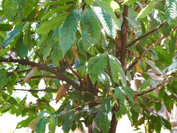 фото какао дерева