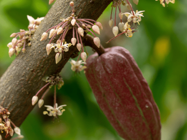 фото какао-плодов и его цветков