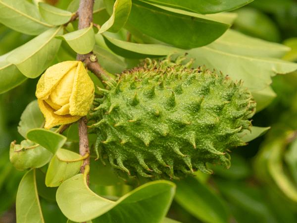 фото плода и цветка сахарного яблока