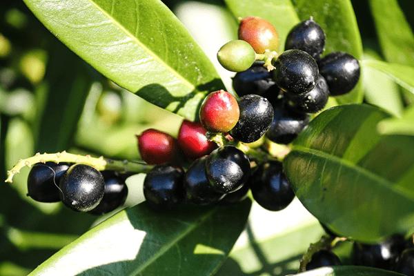 фото ягод лавровишни на дереве