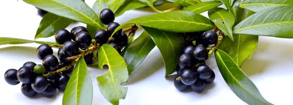 фото плодов лавровишни на столе