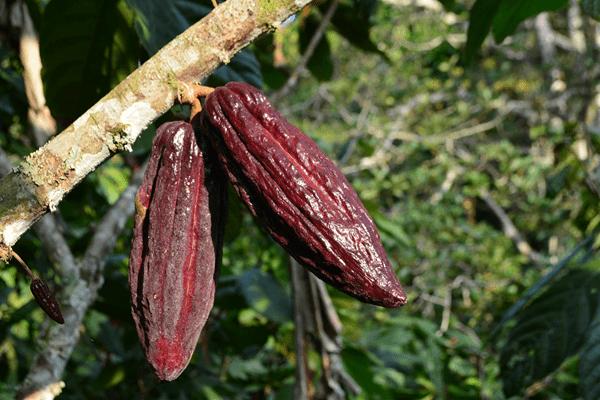 фото 2 какао плодов на дереве