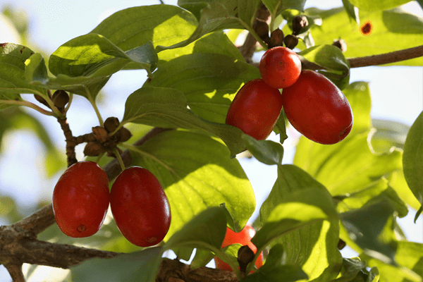 фото ягод спелых ягод кизила