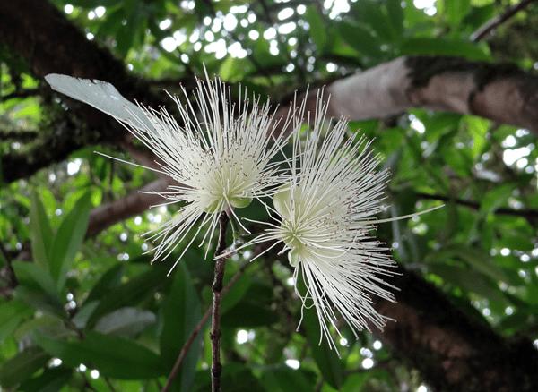 фото цветка чомпу