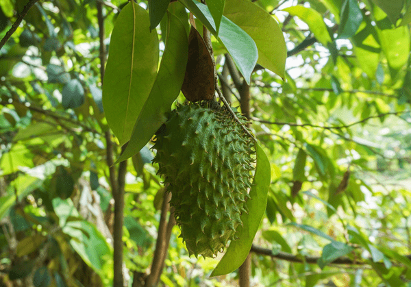 фото плода сметанного яблока на дереве