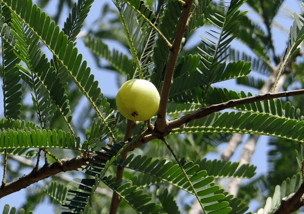 фото плода индийского крыжовника на дереве