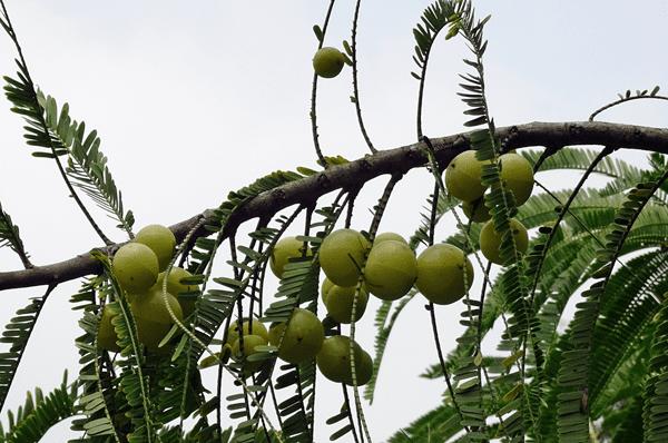 фото плодов эмблики