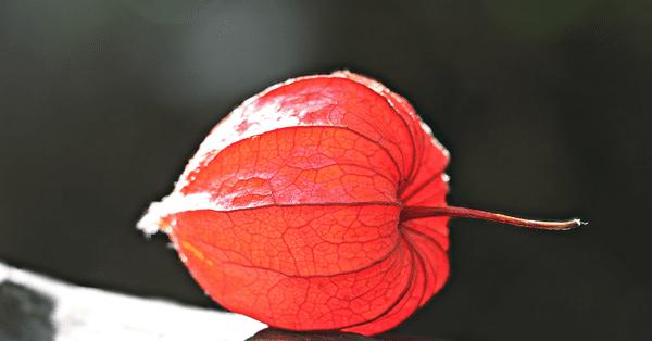 фото плода физалиса