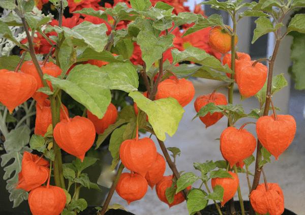 фото кустов физалиса с плодами