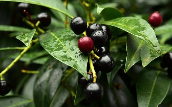 фото плодов лавровишни на дереве